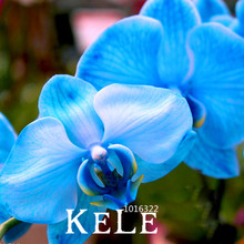 Big Promotion!Rare Bonsai Flower Blue Butterfly Orchid Seeds Beautiful Garden Phalaenopsis Orchids Seed-200 PCS/Lot,#HBN6FN