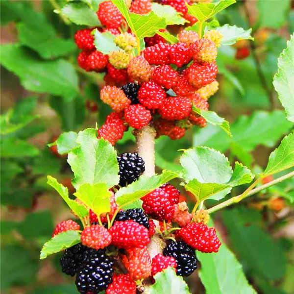 100 pcs piante di Lamponi Colori Misti Super Grande Lampone Frutta piante Rare Fragola Selvatica Albero di piante Fiori Bonsai Per Il Giardino
