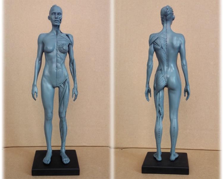 1:6 30cm flesh superficial muscle Human anatomy skull brain skeleton ...