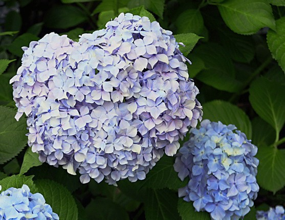free shipping purple flower seeds hydrangea viburnum seed home garden plant house plants how to grow