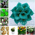 Big sale Calla lily Bulbs (Not Seeds), potted balcony, Radiation Absorption, mixed colors - 2 pcs, Rare Plants Potted Flowers