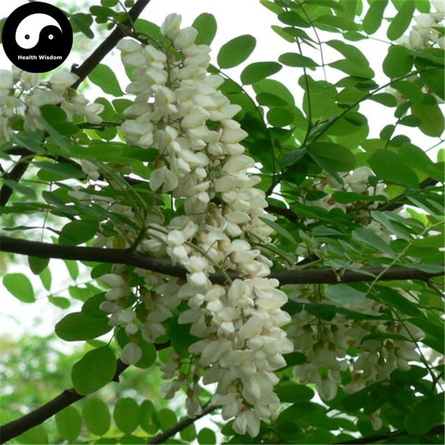 Buy False Acacia Tree Semente 50pcs Plant Robinia Pseudoacacia For