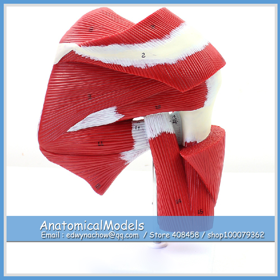 ED-MUSCLE13 Human Shoulder Joint Muscle Tendon Model, Medical Science Educational Teaching Anatomical Models