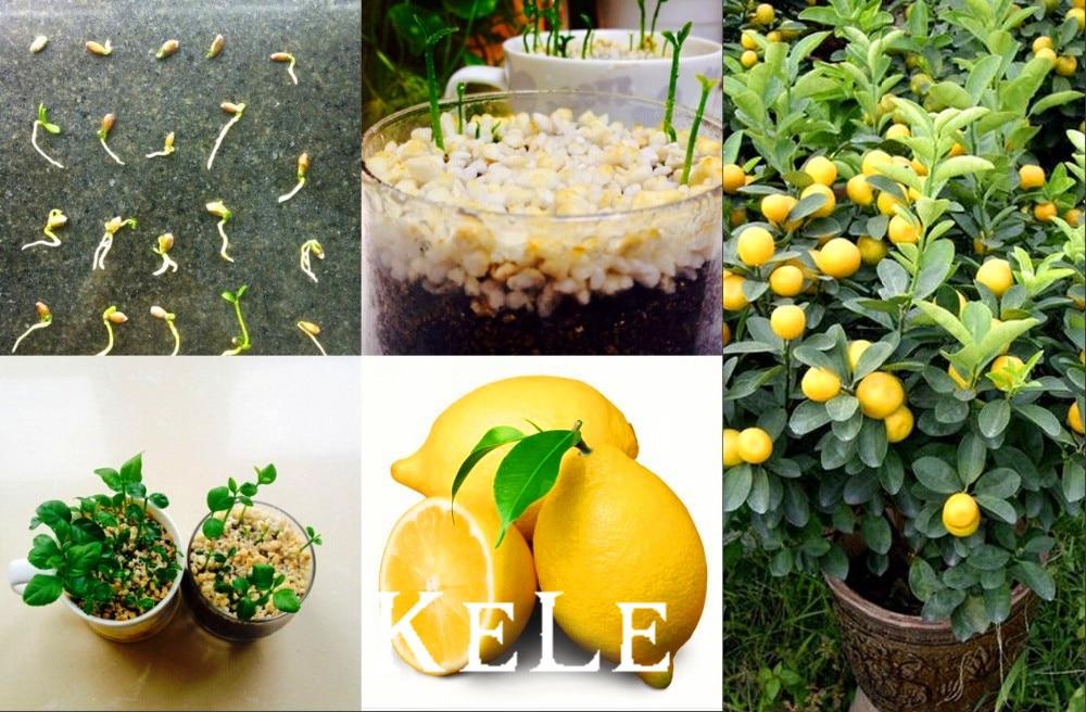 Online buy wholesale mini lemon from china mini lemon for Buy lemon seeds online