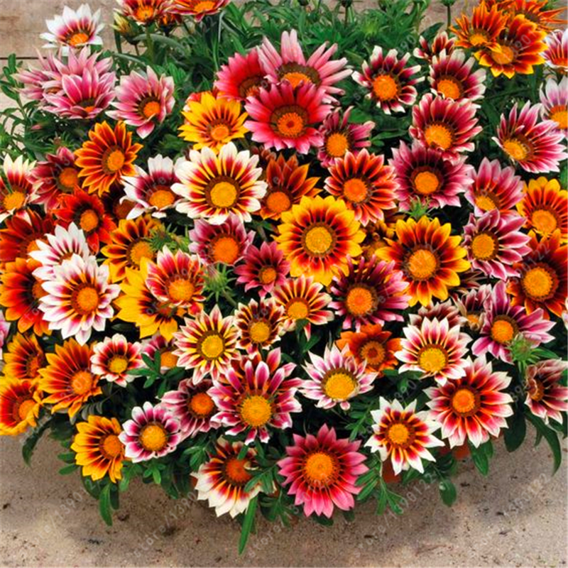 flower gazania seeds  Outdoor Plants Very Easy Seeds flower Sementes 100 pcs  Gazania Seeds