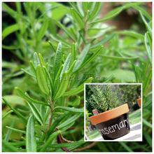 500 Rosemary Seeds Rosmarinus officinalis Heirloom Herb Seed beautiful DIY Garden Plant Easy To Grow Free Shipping