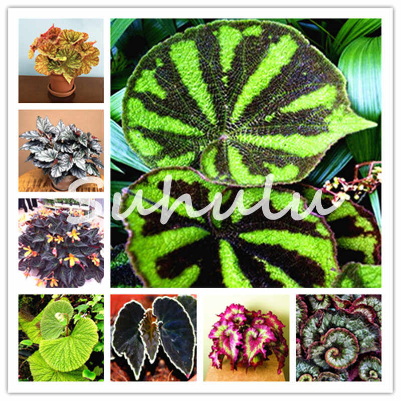 200 Pcs Rare Color Begonia Bonsai Balcony Flower, Indoor Blooming Coleus Plants Radiation Protection Potted Plant, Easy to Grow
