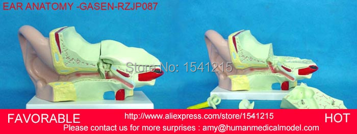 EAR ANATOMICAL MODEL ,MEDICAL HUMAN EAR ANATOMY MODEL MEDICAL TEACHING MODEL,HUMAN ORGANS MODEL LARGE EAR ANATOMY -GASEN-RZJP087 skin block model 26 points displayed human skin anatomical model skin model