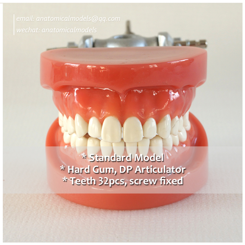 13007, Hard Gum 32pcs Teeth Standard Jaw Model, Medical Science Educational Dental Teaching Models,@CMAM anatomicalmodels 13007 dh106 hard gum 32pcs teeth standard jaw model medical science educational dental teaching models