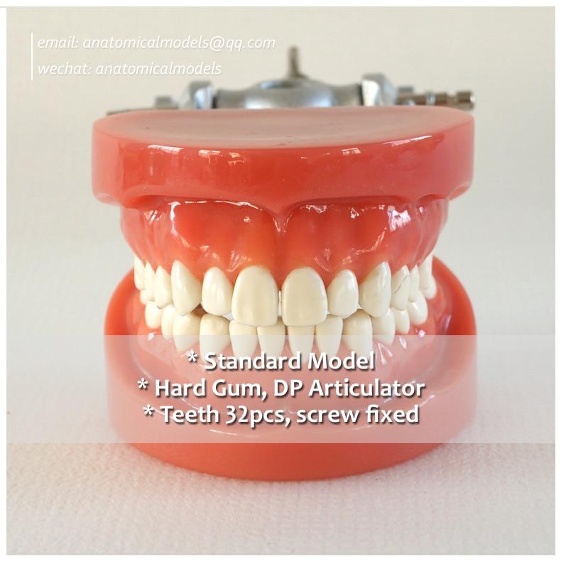 13007, Hard Gum 32pcs Teeth Standard Jaw Model, Medical Science Educational Dental Teaching Models,@CMAM anatomicalmodels 13011 dh109 soft gum 28pcs teeth standard jaw model medical science educational dental teaching models