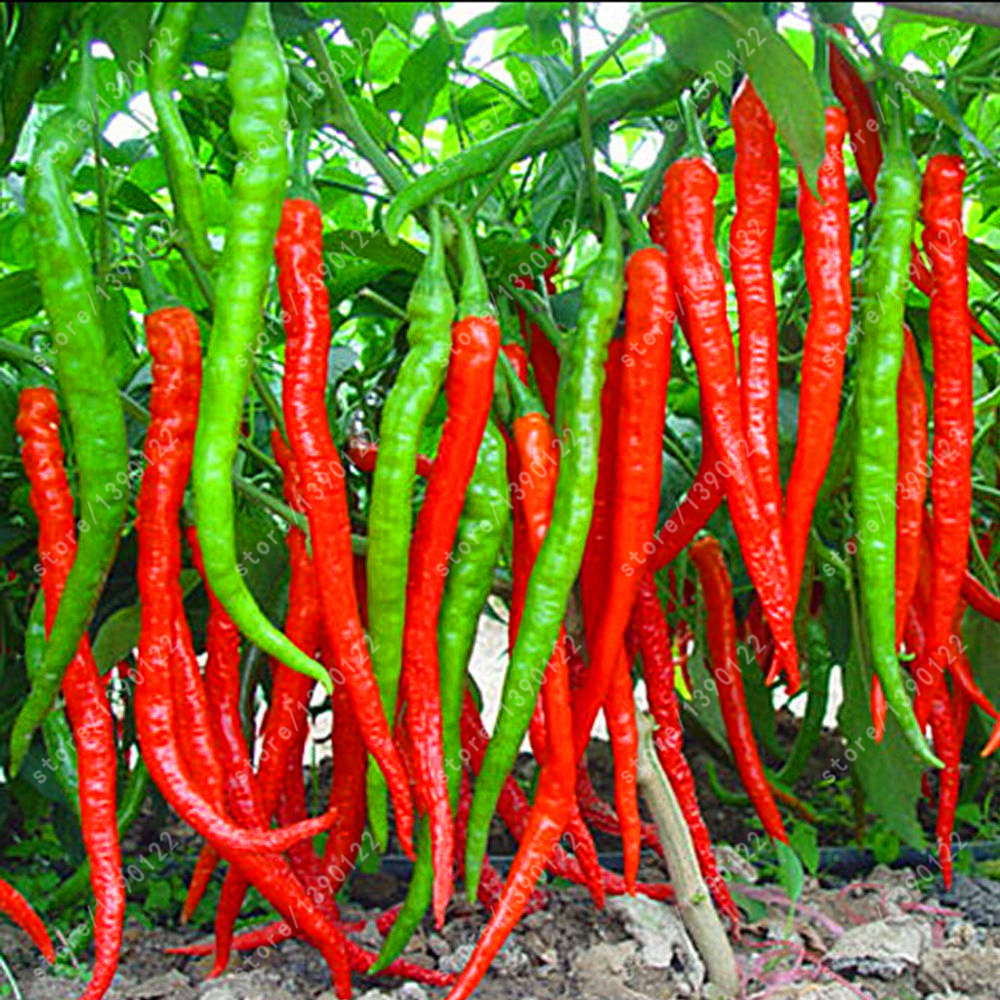 100 PCS/bag Long Chilli Pepper Seeds Healthy Organic Vegetable Seeds And Garden Patio Po ...