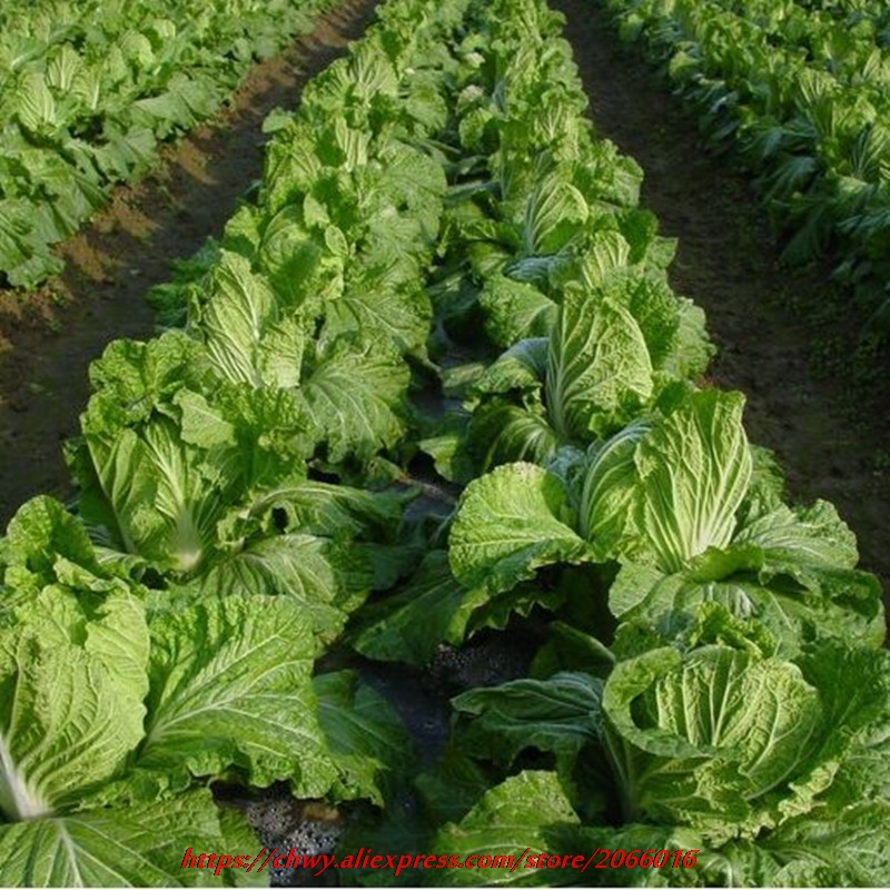 100 PCS Chinese Delicious Sauce Seeds Easy To Grow Nutritious Green Vegetable Brassica Pekinensis Herbs Garden Supplies In Bonsai From Home