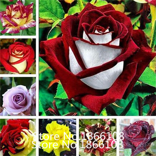 home garden 1 Professional Pack 100 seeds pack Red Black Rare Rose Plant Seedling Garden Seed