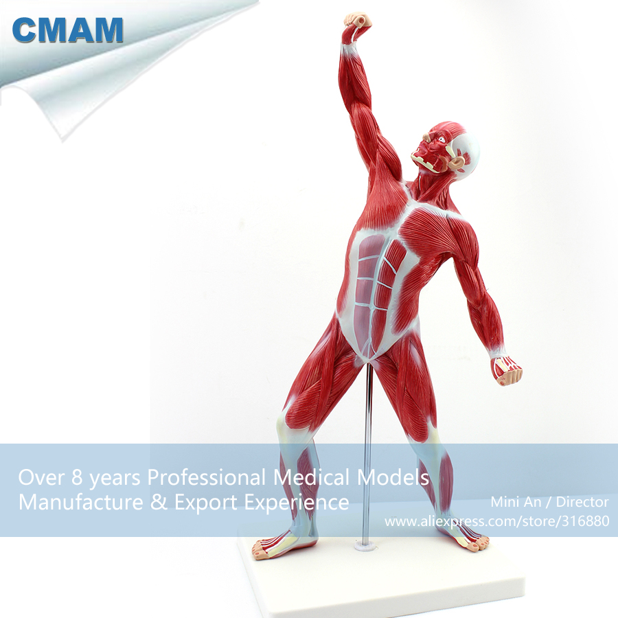 12028 CMAM-MUSCLE05 Desktop 55cm Human Muscle Model on Stand, Medical Science Educational Teaching Anatomical Models