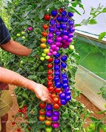 2017Ειδικά προϊόντα !! 200 ντομάτα νάνου Rainbow, σπάνια ντομάτα, βιοσπορίνες και φρούτα, φυτά για κήπο.