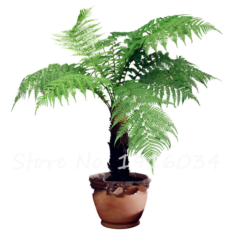 New 30Pcs Bamboo Palm Seeds Lady Palm Indoor Plants Rhapis Excelsa
