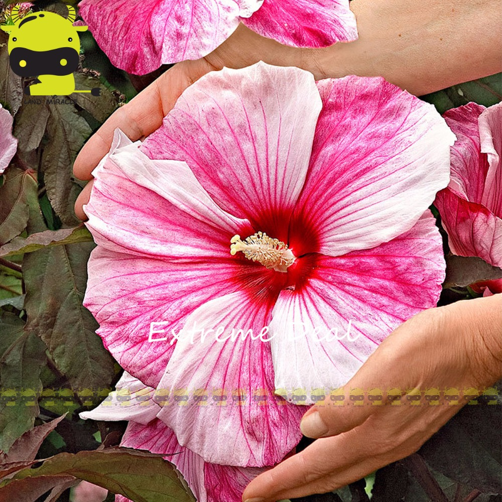 Aliexpress Buy 50 Seeds Giant Hibiscus Exotic Coral Flowers