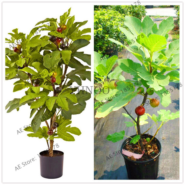 Exceptional 20pcs/bag,rare Fig Tree Seeds Balcony Patio Potted Trees Seeds,fruit Seeds