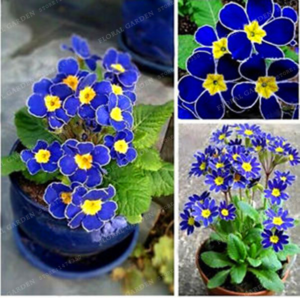 Promotion!!!200 Evening Primrose-Blue Evening Primrose,fragrant DIY Home Garden flower hardy plant Rare Variety Attractive