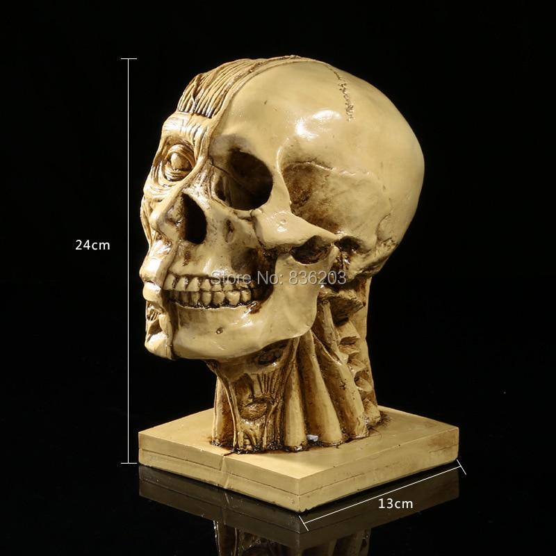 Human Skull muscle Resin Replica Medical Model Life size anatomy skeleton dental anatomical brain  anatomia Exploded skull