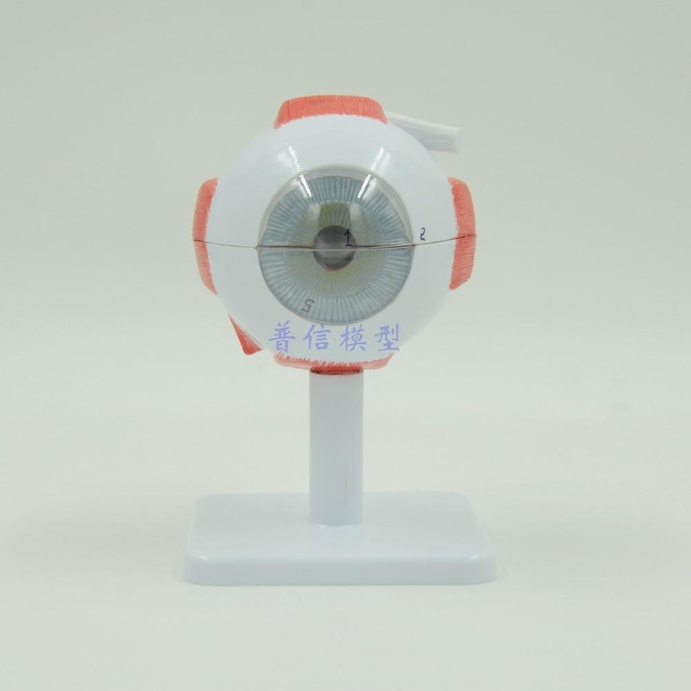 DongYun brand Human eyeball anatomical model Medical organs teaching supplies