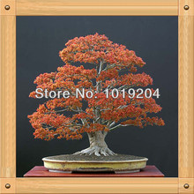 Potted maple in Need, flame maple bonsai seeds from Canada, 10PCS, free shipping(China)