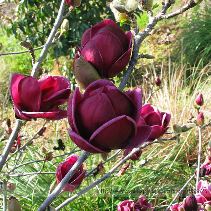 Rare 'Genie' Genie Dark Red Yulan Magnolia Tree Flower Seeds, Professional Pack, 10 Seeds, Light Fragrant Garden Tree NF851