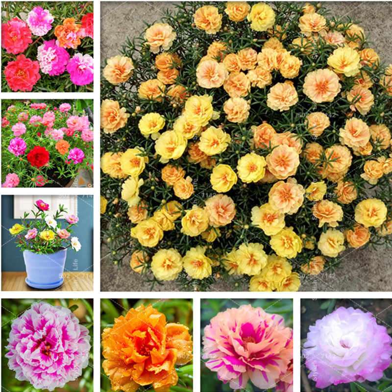 Sales! 200 Pcs Mix Sun Flower Plant purslane Plantas Flower Balcony Garden Potted Plant Portulaca grandiflora Flower Bonsai