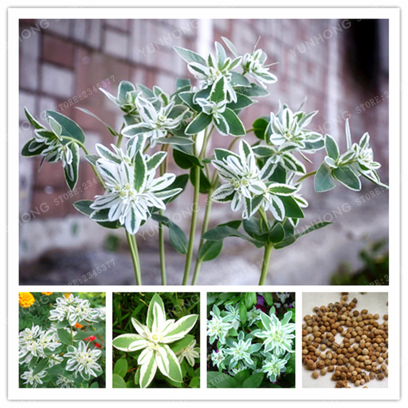 50 Pcs Euphorbia Marginata Pursh Heat Resistant Ever Green LEAF SNOW-ON-THE-MOUNTAIN Foliage Plants DIY Gardening Potted Plant