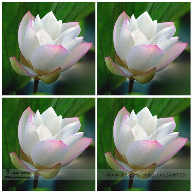 Heirloom White Nelumbo Nucifera W/ Red Top Lotus Flower Seeds, Professional  Pack, 1
