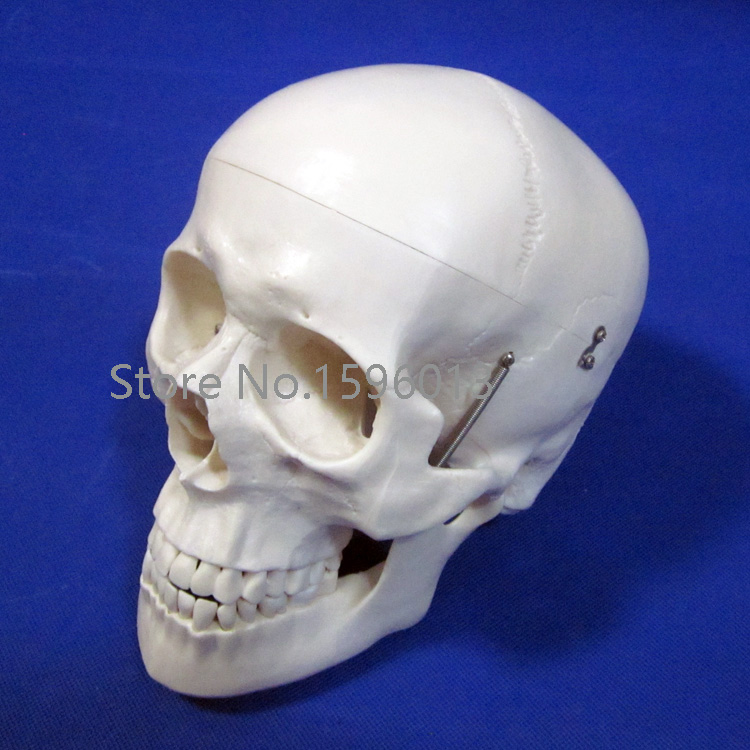 Deluxe Life-Size Skull Model, Human Skull anatomy Model mini human uterus assembly model assembled human anatomy model gift for children