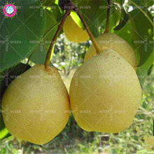 30pcs Asian Golden Pear Seeds Giant Fruit Tree Seeds Nutritious Antioxidant Plants Potted for Home Garden Supplies Fast shipping