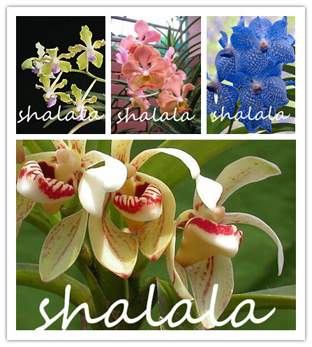 Mix GETSO Germinazione Tasso del 95/% 100 PCS Vanda Coerulea Bonsai del Fiore Cina /è Anche himalayano Orchidea Bonsai Fiore Casa e Giardino di impianto