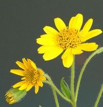 10 шт. импорт Американских семена цветов, лечение растяжение, горный Табак (Арники)