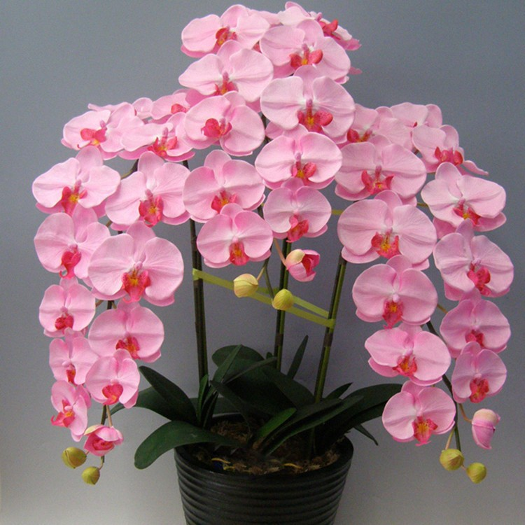 Freeshipping Indoor Balcony Office Rare Orchid Seeds Phalaenopsis Orchids seeds Potted Flowers 50PCS