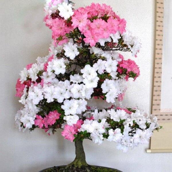 Rare bonsai pink and white azalea seeds looks like sakura japanese rare bonsai pink and white azalea seeds looks like sakura japanese cherry blooms azalea flower seeds 200pcs in bonsai from home garden on aliexpress mightylinksfo