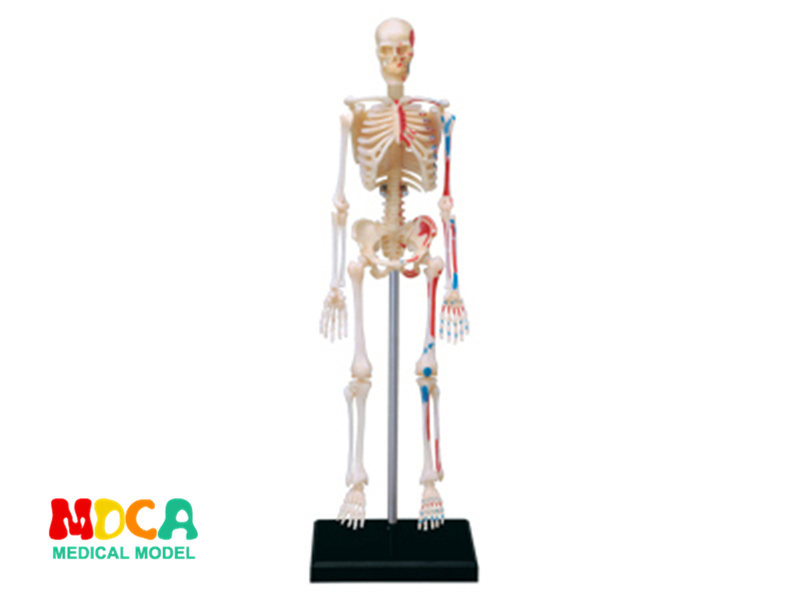 Skeleton 4d master puzzle Assembling toy human body organ anatomical model medical teaching model milv флеш тату i06