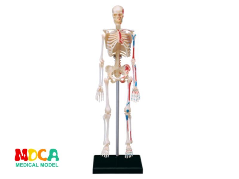 Skeleton 4d Master Puzzle Assembling Toy Human Body Organ Anatomical Model Medical Teaching Model