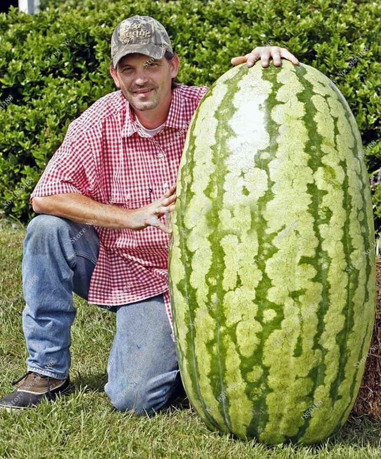 20 Pieces Giant Watermelon Fruit Seeds Garden Home Edible Orangic ...