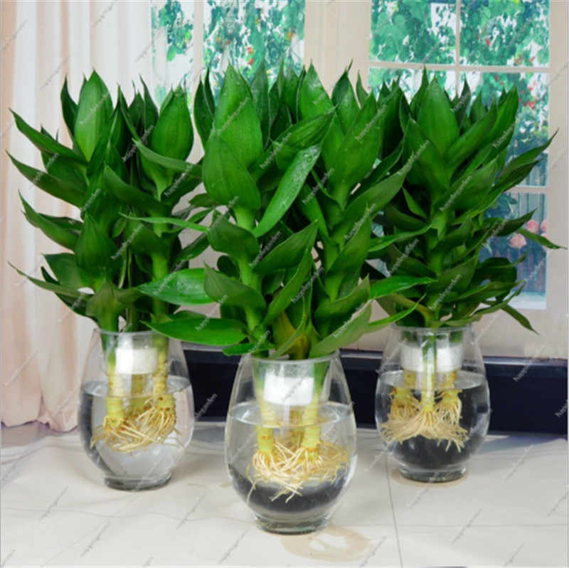 50 pcs Rich bamboo hydroponic plant indoor potted green plant aquatic plant flower office potted rich bamboo, Ornamental Bonsai