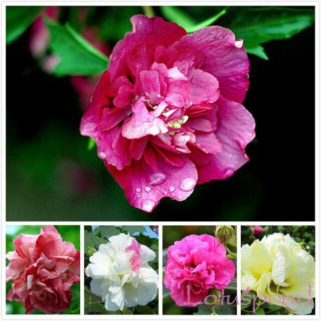 Aliexpress.com: Acheter 50 Graines de Fleur D\'hibiscus, BRICOLAGE ...