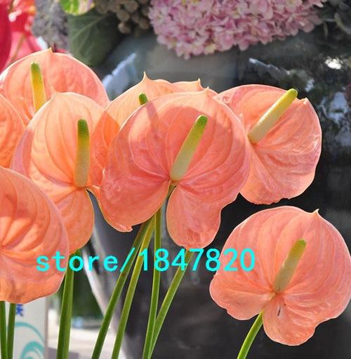 Vendita calda semi di fiori rari rosa pallido anthurium for Vendita semi fiori