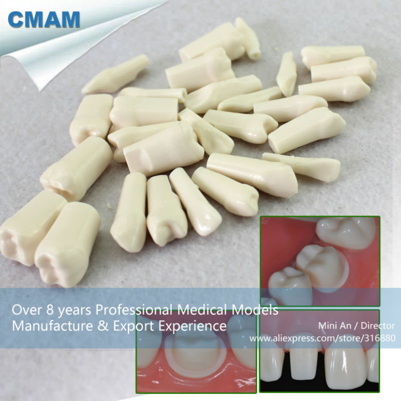 CMAM/12576 Dental- replacement tooth, NISSIN-500 ,Human Oral Dental Medical Teaching Anatomical ModelCMAM/12576 Dental- replacement tooth, NISSIN-500 ,Human Oral Dental Medical Teaching Anatomical Model