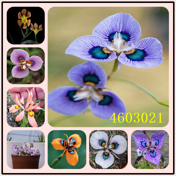 Garden Pots & Planters Bonsai Fast Deliver 20pcs Moraea Iridioides Flower Bonsai,chinese Characteristics Flowe Rbonsai Exotic Plants Garden Home Bonsai Plant With The Best Service