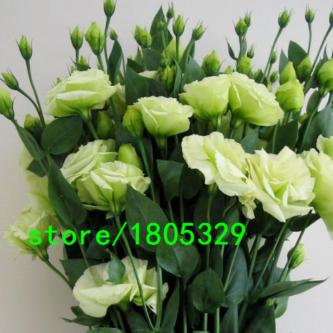 Hot Sale White Eustoma Seeds Perennial Flowering Plants Balcony Potted Flowers Seeds Lisianthus for DIY Home & Garden 100PCS