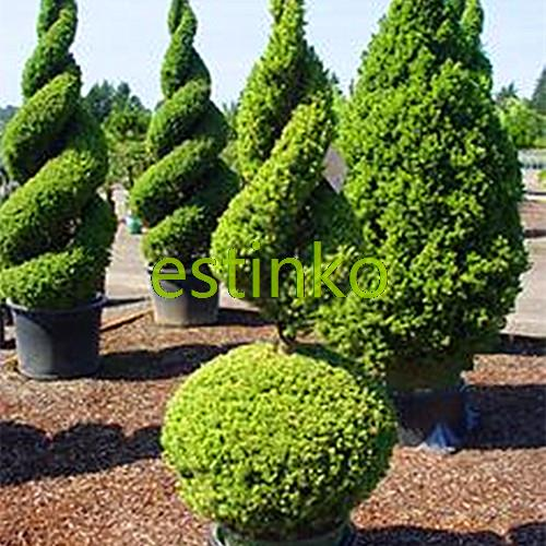 aliexpresscom buy hot selling 50pcs cypress trees seeds conifer seeds diy home garden free shipping from reliable home wedges suppliers on estinko - Trees For Home Garden