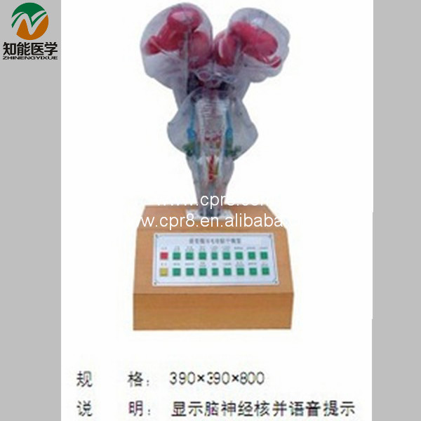 BIX-A1082Voice Prompt Electric Brainstem Model Medical Aids WBW395 bix a1079 electric portal collateral circulation model g156