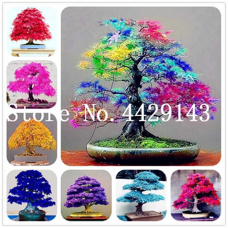 30 pcs Japanese Maple plants Rare Rainbow Color Very Beautiful Japan Plants For Diy Home Garden Bonsai Tree Gift Free Shipping