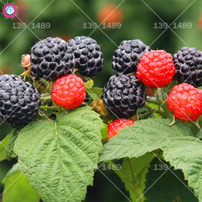 100% High Quality Raspberry Seed 30 Pcs 3 Colors Super Big Raspberry Seeds Fruit Seeds Flower Pots Strawberry Bonsai Blackberry
