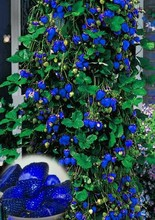 1000pcs Blue Climbing Strawberry seeds tree Seed,very delicious Fruit Seeds For Home & Garden bonsai seeds
